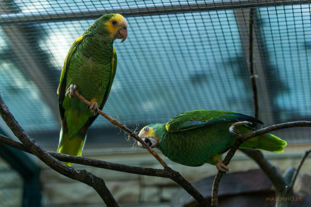 Gelbschulter-Amazonen