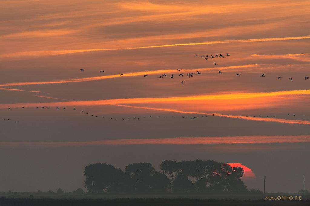 Kranich Sonnenaufgang-1