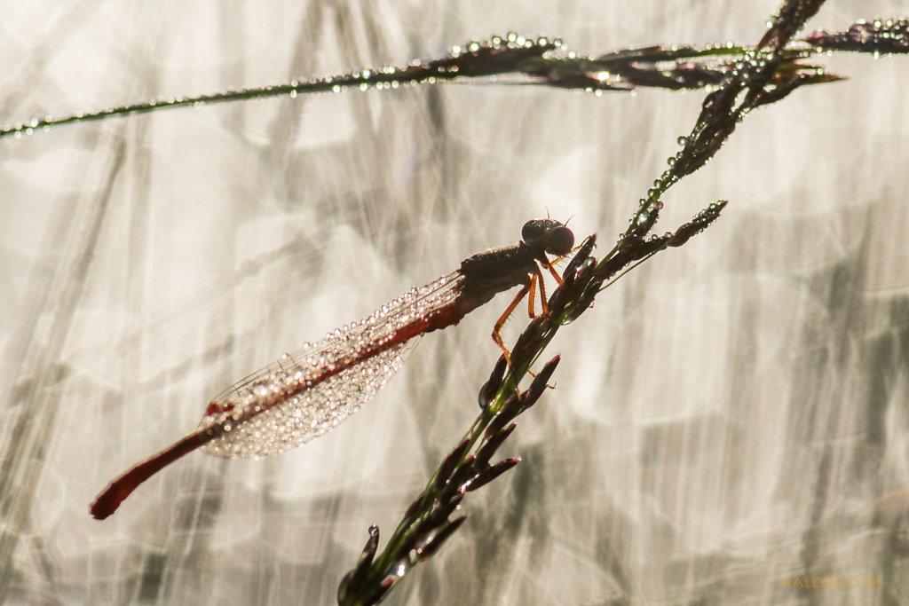 Libellen Silhouette-2