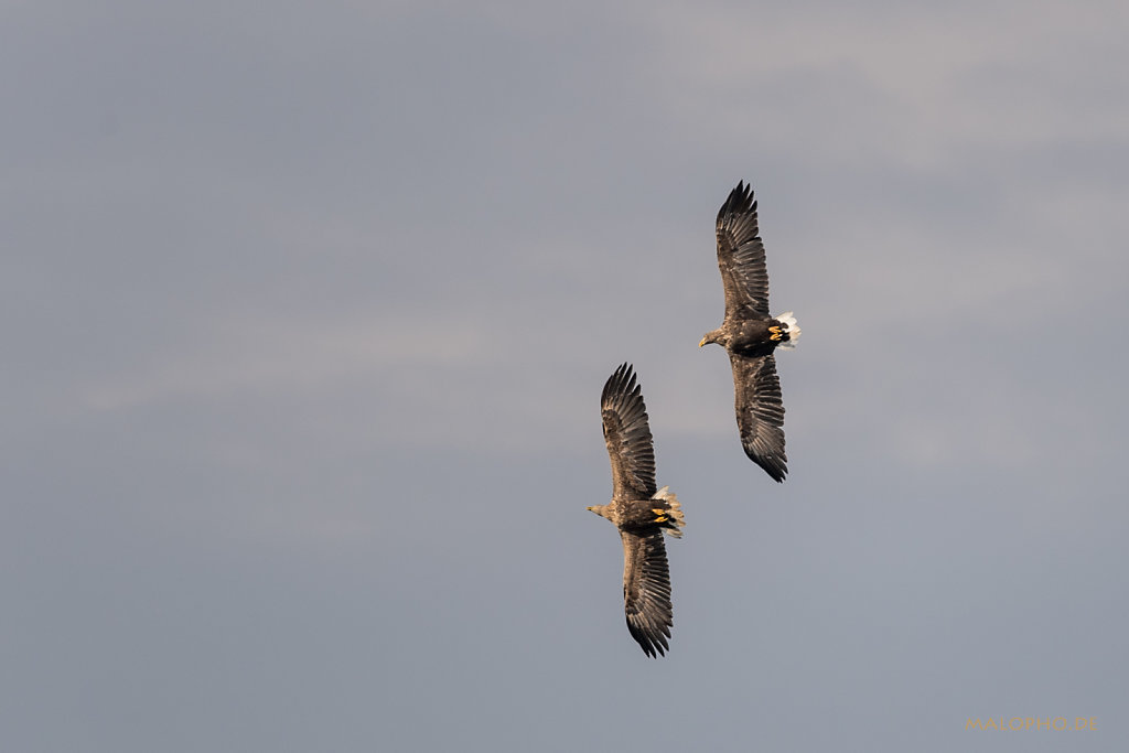 Pommersche Adler