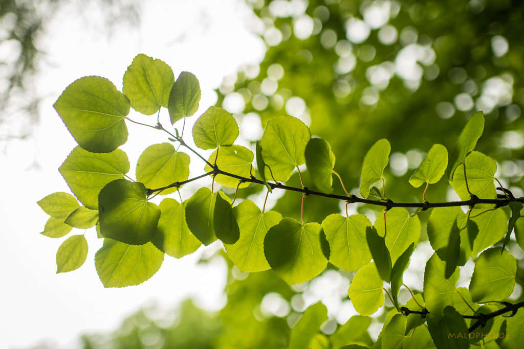 Schattenblätter