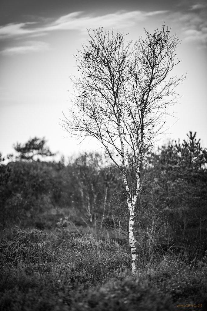 Eine Birke