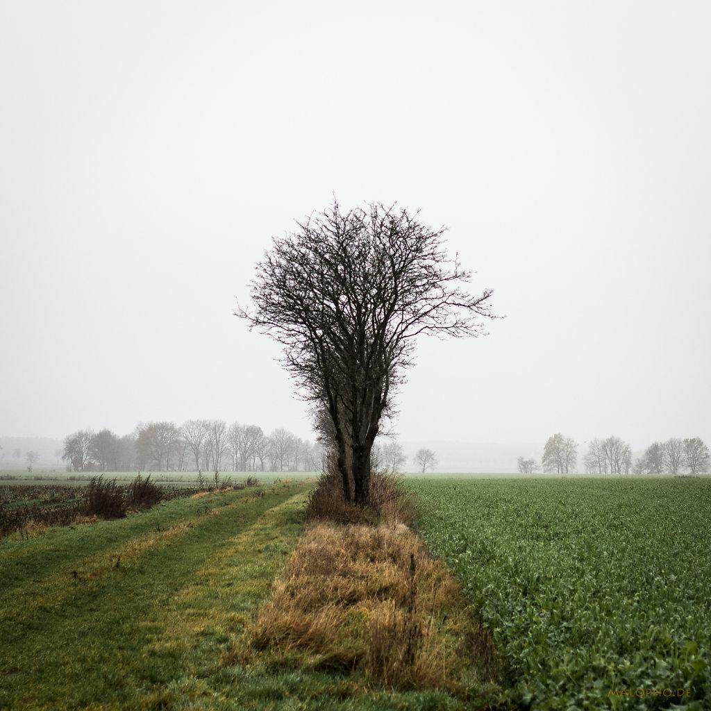 Nebelfeldbäume I