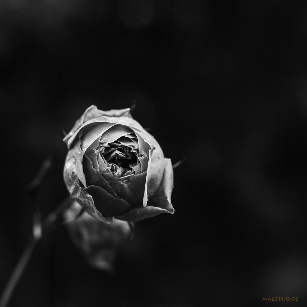 02 | 08 - Winterrose