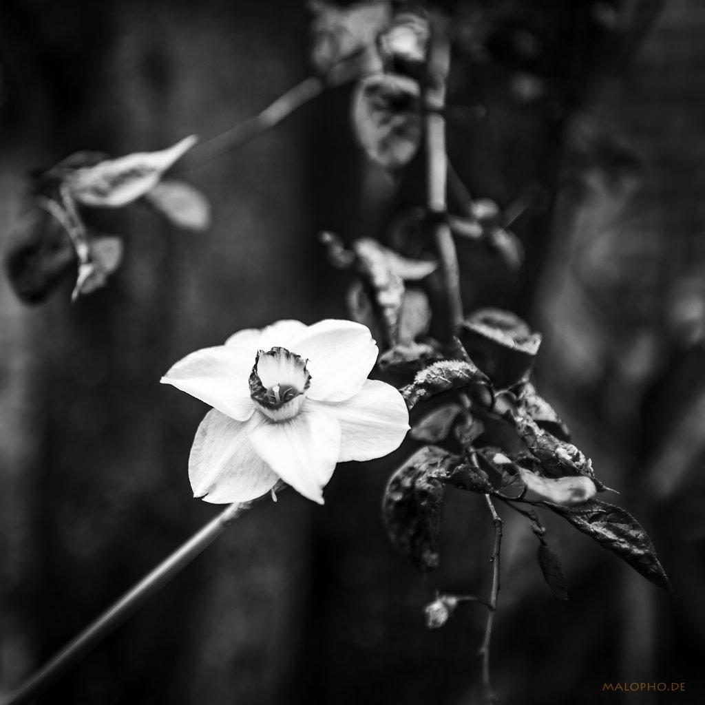 05 | 05 - Die Narzisse