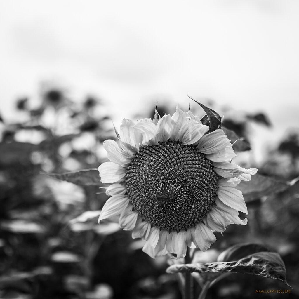 08 | 09 - Sonnenblüte