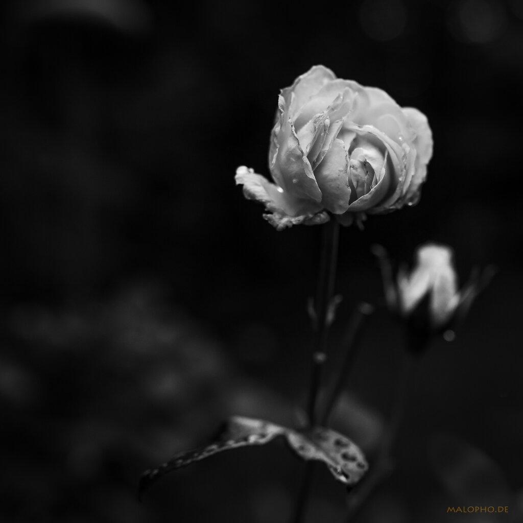 08 | 16 - Morgenrose